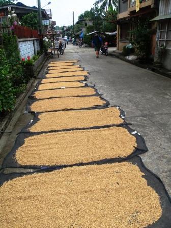 Riso ad essicare per le strade di Calbiga